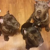 Cane Corso Puppies for sale in Akron, OH, USA. price: NA