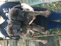 Cane Corso Puppies for sale in Harrogate, TN 37752, USA. price: NA