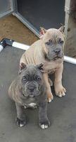 Cane Corso Puppies for sale in Nashville, TN, USA. price: NA