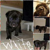 Cane Corso Puppies for sale in South Bend, IN, USA. price: NA