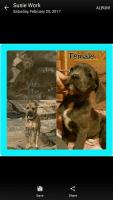Cane Corso Puppies for sale in Abingdon, IL 61410, USA. price: NA