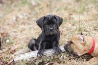 Cane Corso Puppies for sale in Nitro, WV, USA. price: NA