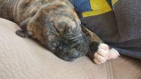 Cane Corso Puppies for sale in Pecatonica, IL 61063, USA. price: NA