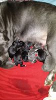 Cane Corso Puppies for sale in Gambrills, MD, USA. price: NA