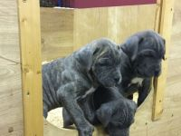 Cane Corso Puppies for sale in Kissimmee, FL, USA. price: NA