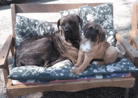 Cane Corso Puppies for sale in Forest, OH 45843, USA. price: NA