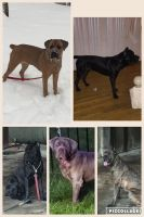Cane Corso Puppies for sale in Lanham, MD 20706, USA. price: NA