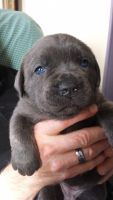 Cane Corso Puppies for sale in South Bloomfield, OH 43103, USA. price: NA