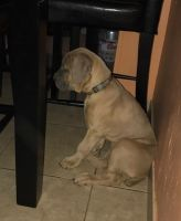 Cane Corso Puppies for sale in Long Branch, NJ 07740, USA. price: NA