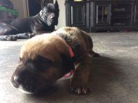 Cane Corso Puppies for sale in Winter Haven, FL 33880, USA. price: NA