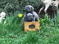 Cane Corso Puppies for sale in Vancouver, WA, USA. price: NA