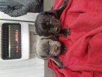 Cane Corso Puppies for sale in Blue Island, IL, USA. price: NA