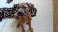 Cane Corso Puppies for sale in Tobyhanna, PA 18466, USA. price: NA