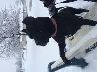 Cane Corso Puppies for sale in 334 Cambridge Rd, Narvon, PA 17555, USA. price: NA