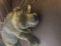 Cane Corso Puppies for sale in Cameron, NC 28326, USA. price: NA