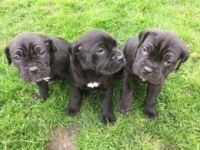 Cane Corso Puppies for sale in Dublin, OH, USA. price: NA