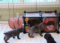 Cane Corso Puppies for sale in Walnut, CA, USA. price: NA