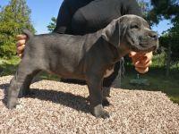 Cane Corso Puppies for sale in Porterville, CA 93257, USA. price: NA