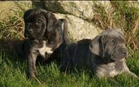 Cane Corso Puppies for sale in Tempe, AZ, USA. price: NA