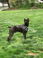 Cane Corso Puppies for sale in Whiteford, MD, USA. price: NA