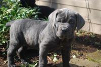 Cane Corso Puppies for sale in Eudora, AR 71640, USA. price: NA