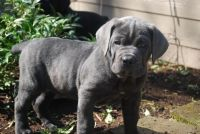 Cane Corso Puppies for sale in Darling, MS 38623, USA. price: NA