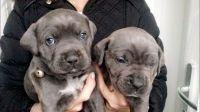 Cane Corso Puppies for sale in Seattle, WA, USA. price: NA