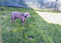 Cane Corso Puppies for sale in Calumet City, IL, USA. price: NA