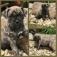 Cane Corso Puppies for sale in Delaware, OH 43015, USA. price: NA