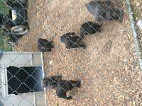 Cane Corso Puppies for sale in Memphis, TN 38119, USA. price: NA