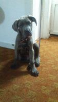 Cane Corso Puppies for sale in Elkton, MD 21921, USA. price: NA