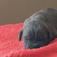 Cane Corso Puppies for sale in Washington, DC, USA. price: NA