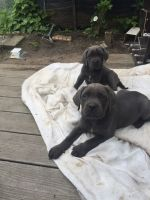 Cane Corso Puppies for sale in BRIDGEWTR COR, VT 05035, USA. price: NA