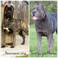 Cane Corso Puppies for sale in Washington Court House, OH 43160, USA. price: NA