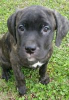 Cane Corso Puppies for sale in Land O' Lakes, FL, USA. price: NA