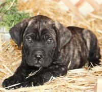 Cane Corso Puppies for sale in New York, NY, USA. price: NA