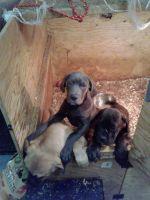 Cane Corso Puppies for sale in Suisun City, CA 94585, USA. price: NA