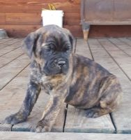 Cane Corso Puppies for sale in Louisville, KY, USA. price: NA