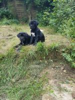 Cane Corso Puppies for sale in Michigan Ave, Inkster, MI 48141, USA. price: NA