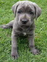 Cane Corso Puppies for sale in Escondido, CA, USA. price: NA