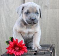 Cane Corso Puppies for sale in California St, San Francisco, CA, USA. price: NA