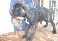 Cane Corso Puppies for sale in Mound, MN 55364, USA. price: NA