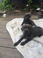 Cane Corso Puppies for sale in Phoenix, AZ 85016, USA. price: NA