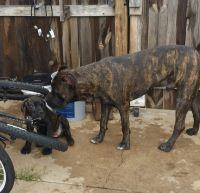 Cane Corso Puppies for sale in Glastonbury, CT, USA. price: NA