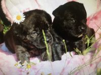 Cane Corso Puppies for sale in Shelby, NC, USA. price: NA