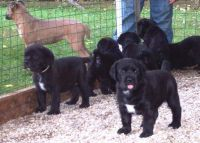 Cane Corso Puppies for sale in Allen St, New York, NY 10002, USA. price: NA