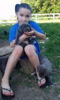 Cane Corso Puppies for sale in Seattle, WA 98109, USA. price: NA