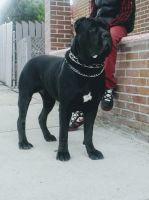 Cane Corso Puppies for sale in Trenton, NJ, USA. price: NA