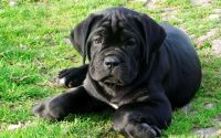 Cane Corso Puppies for sale in Edmond, OK, USA. price: NA