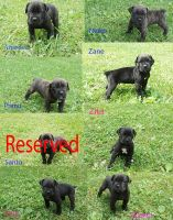Cane Corso Puppies for sale in Acme, PA 15610, USA. price: NA
